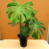 [진아플라워] 식물계 아이돌 몬스테라 델리시오사 화분중형 250 