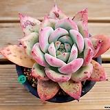 야생콜로라타(얼큰이)|Echeveria colorata