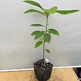 아보카도|avocadocream