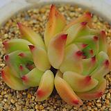 콜로라타플로라(E183) Echeveria colorata