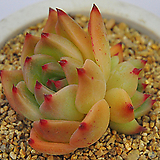 콜로라타플로라(E184) Echeveria colorata