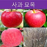 사과 미얀마 결실주|