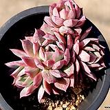 블렛블루아나 33-535|Echeveria bradburiana