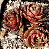 환엽롱기시마 33-554|Echeveria longissima