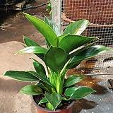 공기정화식물 콩고 미니콩고|