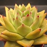 매창S.P|Echeveria agavoides Lip Stick