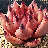 원종레드에보니시리우스|Echeveria agavoides ebony red