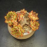 묵은 매창-8두(3.24)|Echeveria agavoides Lip Stick