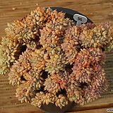 라밀라떼철화|Echeveria Lamillette  f cristata