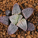 슈퍼화이트 H.pygmaea super white 11|