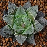 옵튜샤 Hyb 12|Haworthia cymbiformis var. obtusa