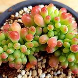 을려심철화|sedum pachyphyllum