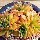 짧은잎적성(대)|Echeveria agavoides Akaihosi