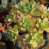 사이즈좋은묵은까라솔자연한몸 Aeonium decorum f variegata