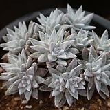 묵은화이트그리니14두자연 Dudleya White gnoma(White greenii / White sprite)