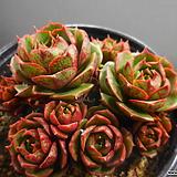 환엽롱기시마자연한몸 324-864|Echeveria longissima