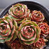 환엽롱기시마자연한몸 324-1679|Echeveria longissima