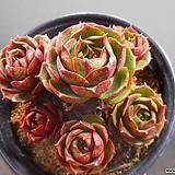 환엽롱기시마자연한몸324-879|Echeveria longissima