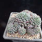 룬데리659|Echeveria setosa v deminuta