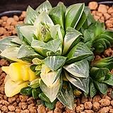 백미인(트루기다금)(白美人 錦(Trugida variegated))-02-01-No.1372|Echeveria turgida