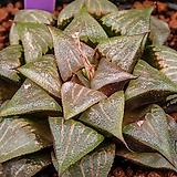 루비픽타 실생(Ruby picta 實生)-02-01-No.2314|Haworthia picta