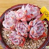 목대 핑크자라고사 Echeveria mexensis Zaragosa