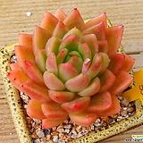 워터릴리 Echeveria Water Lily
