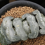 옥선 TT-1 자구 (Haworthia truncata TT-1, offset) 