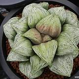 나이아가라 자구(Haworthia splendens hyb. Naiagara, offset) 