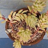 564 수빙합식|Sedeveria cv. Supar brow