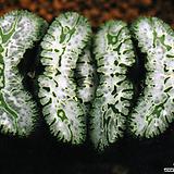 옥선 황기(荒磯) 자구 중묘(Haworthia truncata cv. Araiso, offset) Haworthia truncata