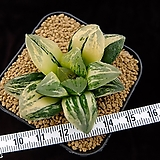 타이거피그금 최상급 중묘(자구출신) (Haworthia Tiger-Pyg variegated, offset) 