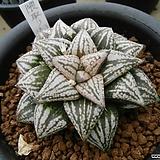 픽타 쿠마토리 (隈取り) 자구 (Haworthia picta Kumatori, offset) Haworthia picta