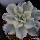 라일라시나금 (릴리시나복륜금) 컷팅묘(Echeveria lilacina variegated, offset) Echeveria lilacina