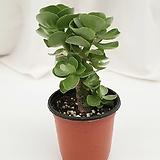 녹비단 공기정화식물 Portulaca molokiniensis
