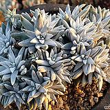 화이트그리니091|Dudleya White gnoma(White greenii / White sprite)
