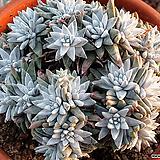 화이트그리니0911|Dudleya White gnoma(White greenii / White sprite)