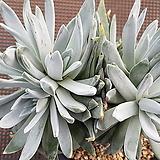 화리노사 자연군생 208|Dudleya farinosa Bluff Lettuce