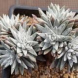 화이트그리니 자연군생 12두 241|Dudleya White gnoma(White greenii / White sprite)
