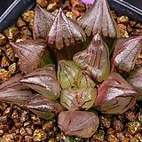 아트로푸스카 뮤턴트(atrofusca mutant)--02-01-No.3081 