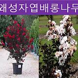 왜성자엽배롱나무(블랙다이아몬드) 삽목1년|