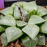 루비 픽타 실생(Ruby Picta 實生)-02-01-No.4554 Haworthia picta