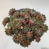 묵은푸미라대품30두|Echeveria pumila
