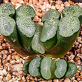 초상 실생(初霜 實生)-02-01-No.2642 Graptopetalum Paraguayensis Awayuki