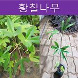 황칠나무 키40~50cm 포트|