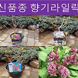 신품종 향기라일락(3품종) 키30cm화분|Echeveria cv Peale von Nurnberg