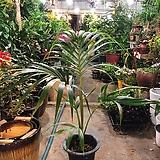 겐차야자 켄차야자 공기정화 미세먼지제거식물|