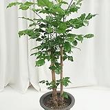 녹보수 공기정화식물 happy tree