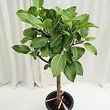 벵갈고무나무 공기정화식물 Ficus elastica