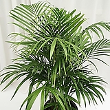 아레카야자 (대품) 공기정화식물 